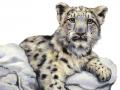 baby_snow_leopard
