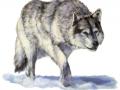 tibetan_wolf