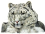 Where Snow Leopard Prowls
